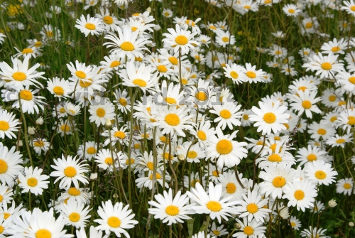 A Field Of Ox Eye Daisies